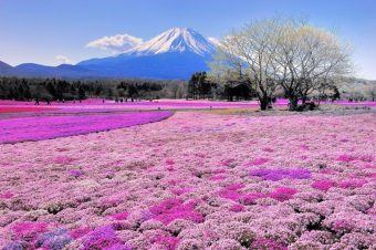 calendar-of-events-fuji-shibazaku-festival-1024x681