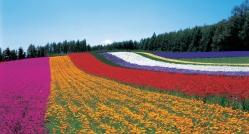 furano-lavender-2